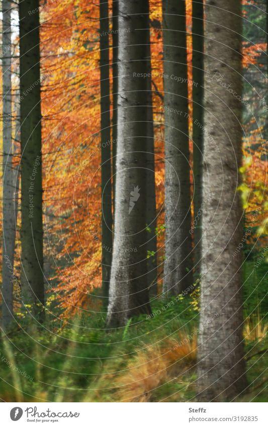 Waldstimmung im Herbst Umwelt Natur Landschaft Baum Herbstlaub Waldpflanze Herbstwald natürlich schön braun grün orange ruhig Herbstgefühle Novemberstimmung