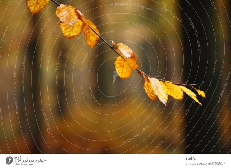 autumn branch Umwelt Natur Herbst Pflanze Baum Herbstlaub Buchenblatt Zweig Zweige u. Äste Wald Herbstwald natürlich schön braun gelb orange Waldstimmung