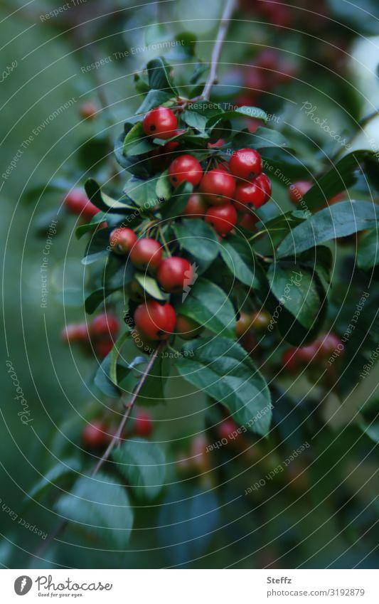 Zieräpfel Apfel Äpfel Zierpflanze Zweig Obst dekorativ Gartenpflanzen Obstgarten dunkelrot Wachstum rot-grün dunkelgrün Dekoration & Verzierung Frucht