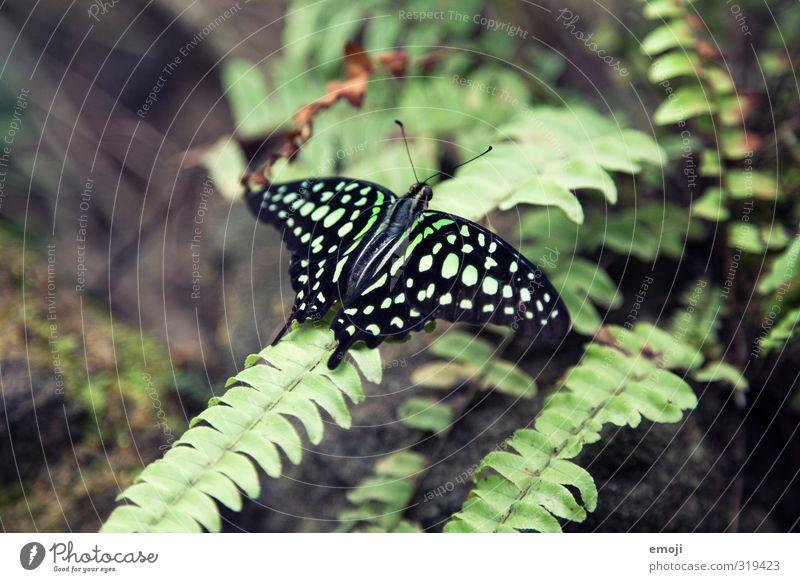 Chamäleon 2.0 Umwelt Natur Pflanze Tier Wildtier Schmetterling Flügel Zoo 1 exotisch natürlich grün Muster Farbfoto Außenaufnahme Makroaufnahme Menschenleer Tag
