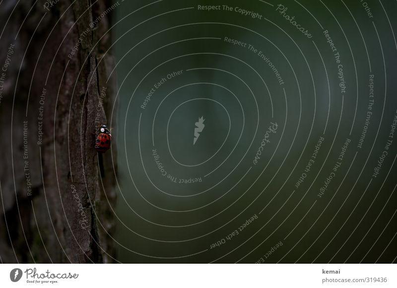 Helgiland | Lady Marie Natur Pflanze Baum Tier Wald Umwelt dunkel klein sitzen Wildtier niedlich Punkt Klettern Baumstamm aufwärts krabbeln