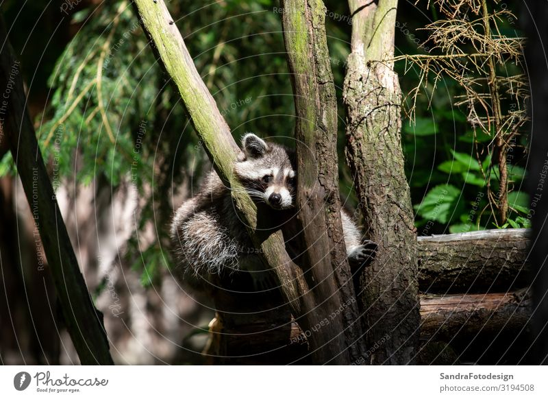 A raccoon looks straight into the camera Leben Zoo Natur Tier Park Wildtier 1 beobachten entdecken Tierliebe adorable animal animals attractive beautiful black