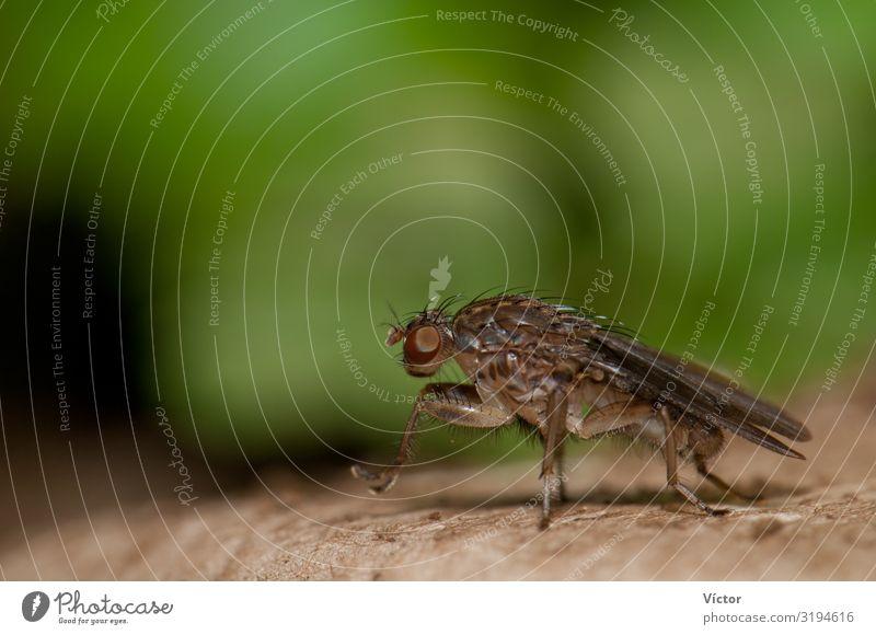 Fliege (Suillia setitarsis). Integrales Naturreservat von Mencáfete. Frontera. El Hierro. Kanarische Inseln. Spanien. Tier Wildtier 1 natürlich wild Tiere