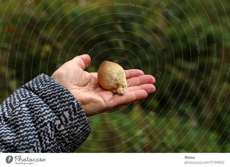 Der Mykologe demonstriert verschiedene Waldpilze Herbst Nahaufnahme Pilz Makroaufnahme Mykobiont Natur Biologie Mütze Holz gefährlich natürlich Gift frisch