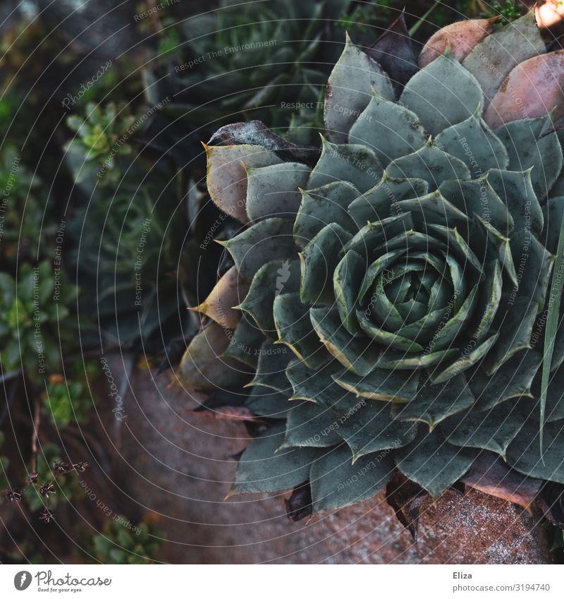 Sukkulente Pflanze Sukkulenten Natur Mauer Garten grün schön Farbfoto Außenaufnahme Menschenleer Textfreiraum links Tag