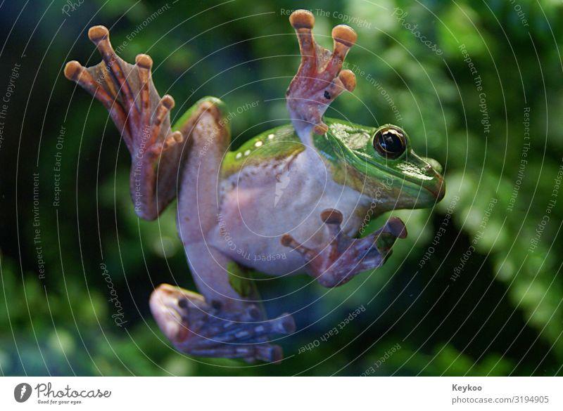 Cool Frosch Tier Wildtier Zoo 1 springen lustig grün Farbfoto Innenaufnahme Tierporträt Blick in die Kamera