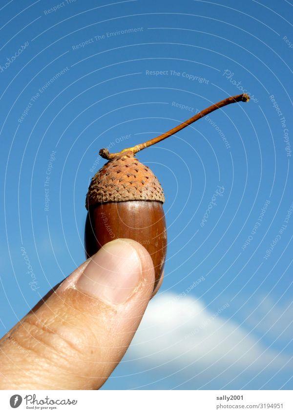 Herbstfrucht... Finger Daumen Himmel Schönes Wetter Eicheln festhalten ästhetisch nachhaltig Natur Frucht Fortpflanzung Samen zeigen Ernte Farbfoto
