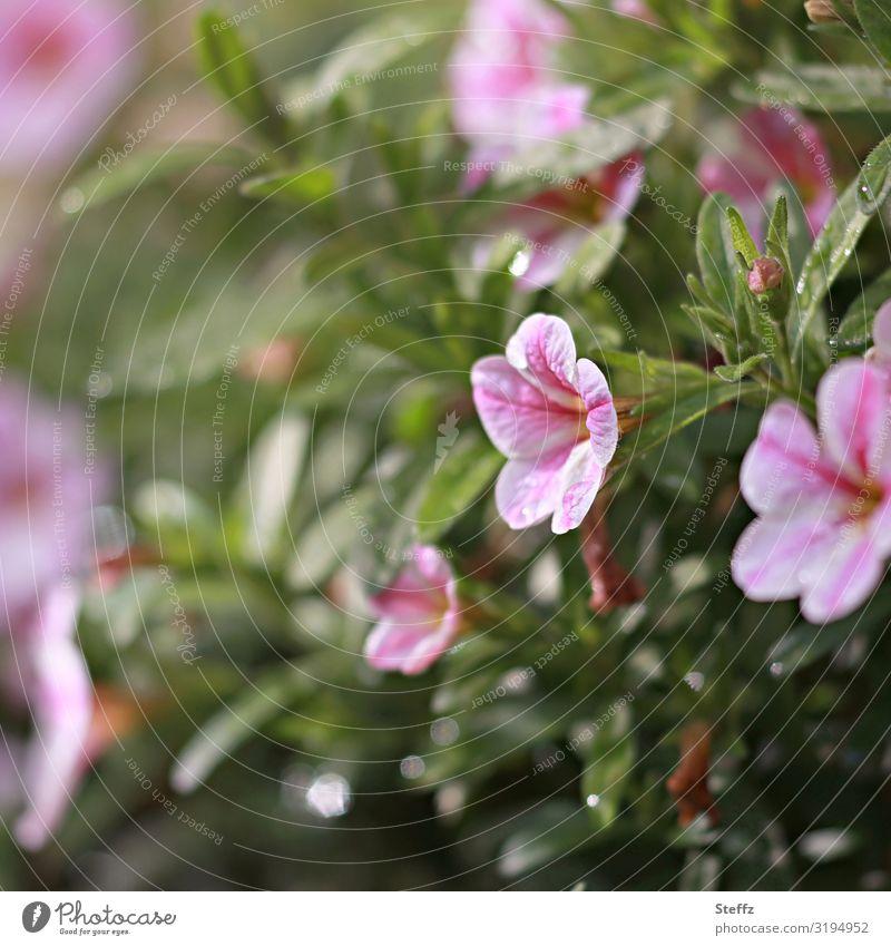 Petunien Umwelt Natur Pflanze Sommer Regen Blume Blüte Gartenpflanzen Blütenblatt Deutschland Europa Blühend ästhetisch frisch natürlich schön grün rosa