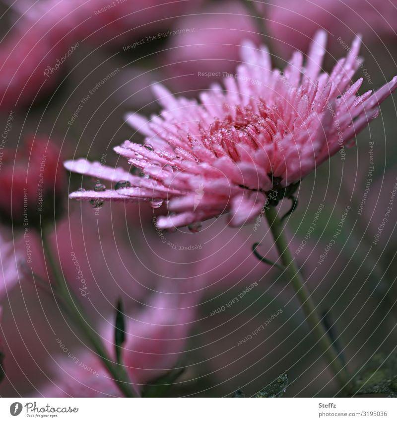 Aster im Regen Umwelt Natur Wassertropfen Herbst Wetter Pflanze Blume Blüte Astern Herbstblume Gartenpflanzen Gartenblumen Europa Blühend nass natürlich schön