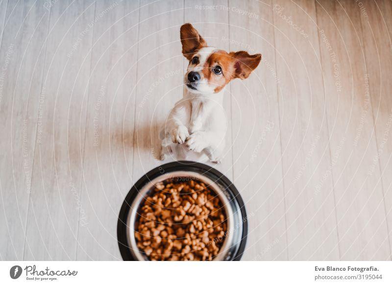 süßer kleiner Jack-Russell-Hund zu Hause, der darauf wartet, sein Futter in einer Schüssel zu fressen. Haustiere im Haus Lebensmittel Jack-Russell-Terrier