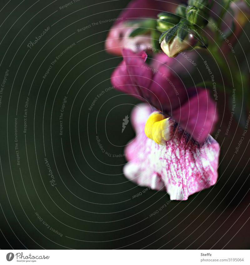 Löwenmäulchen Umwelt Natur Pflanze Sommer Herbst Blume Blüte Lowenmäuler Blütenblatt Gartenpflanzen Großbritannien Europa Nordeuropa Blühend nah natürlich schön