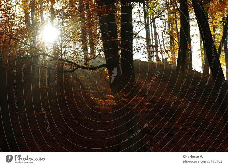 Brandenburger Herbst III Umwelt Natur Landschaft Pflanze Urelemente Luft Sonne Sonnenlicht Schönes Wetter Wald glänzend leuchten schön grau orange ruhig