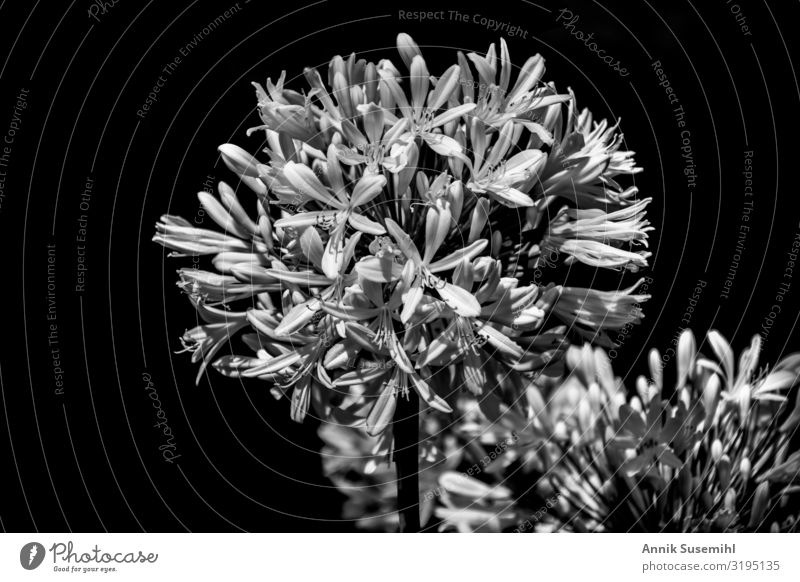 weiße Blumen mit geöffneten Knospen vor schwarzem Hintergrund Hochzeit Trauerfeier Beerdigung Natur Pflanze Sträucher Blüte Garten Park Kraft Traurigkeit