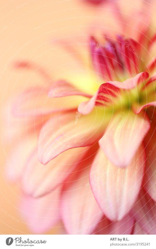 Höhepunkt Natur Landschaft Pflanze Blüte Dahlie Blühend Duft gelb grün rosa schwarz weiß Farbfoto Außenaufnahme Nahaufnahme Detailaufnahme Makroaufnahme