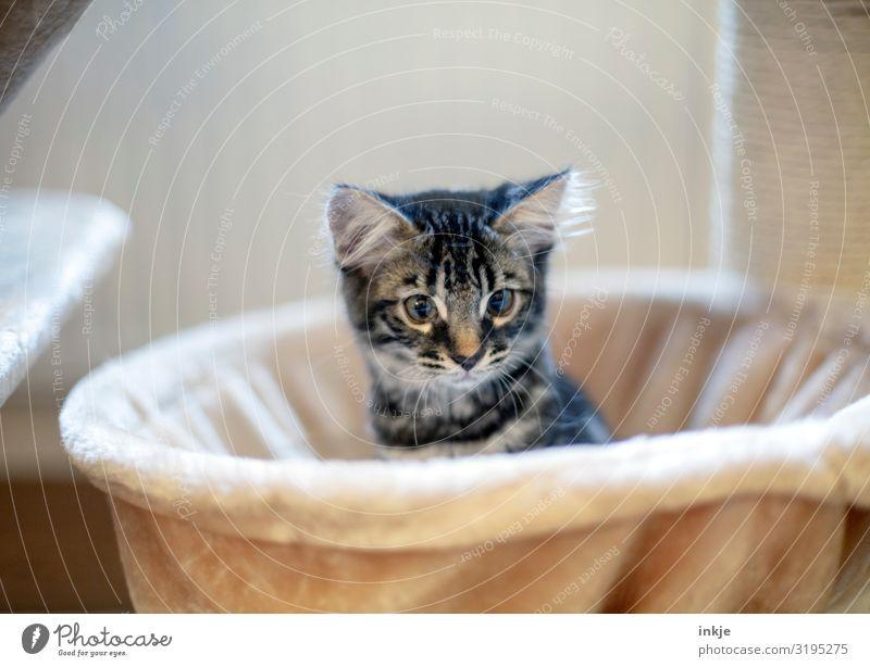 Kätzchen Häusliches Leben Tier Haustier Katze Tiergesicht 1 Tierjunges hocken Blick kuschlig Neugier niedlich Wärme weich strubbelig Farbfoto Innenaufnahme