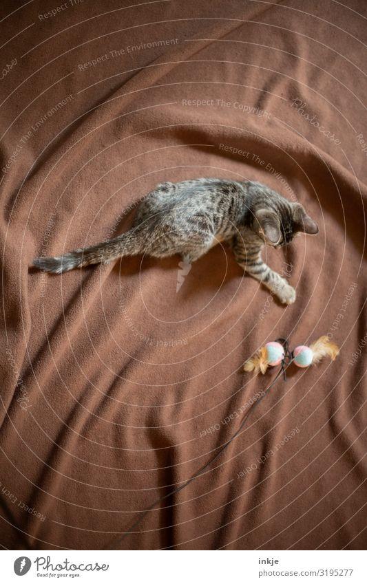 Katzenkind auf brauner Decke Freizeit & Hobby Haustier 1 Tier Tierjunges Spielzeug Wolldecke katzenspielzeug klein Neugier niedlich weich Spieltrieb Spielen