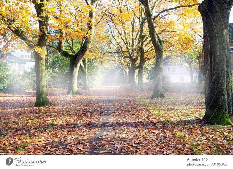 Straße durch den Herbstwald mit hohen Bäumen, schön Ferien & Urlaub & Reisen Umwelt Natur Landschaft Pflanze Nebel Baum Gras Blatt Park Wald Wege & Pfade hell