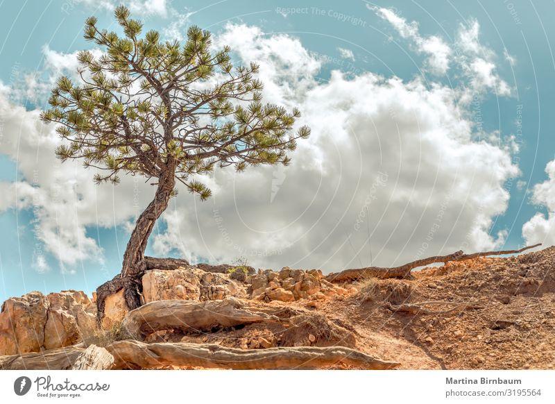 Überlebender - Einzelbaum, der sich an Felsen im Bryce Canyon, Utah, klammert. Ferien & Urlaub & Reisen Umwelt Natur Landschaft Pflanze Sand Himmel Baum Park