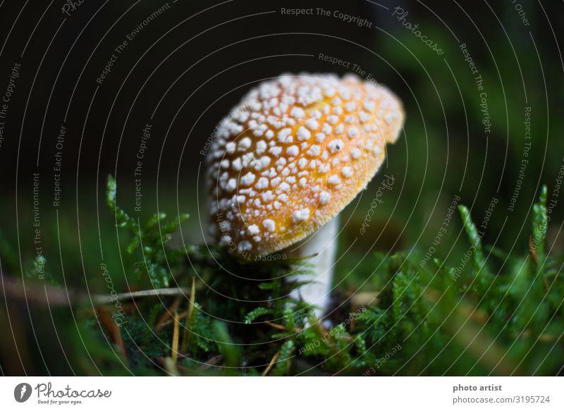 Fliegenpilz Amanita Muscaria Umwelt Natur Pflanze Erde Sonne Sonnenlicht Herbst Schönes Wetter Moos Wildpflanze exotisch Park Wiese Wald Oberes Donautal