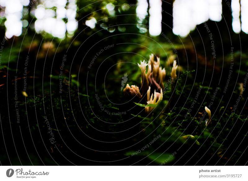 Hahnenkamm Koralle (Ramaria Botrytis) Umwelt Natur Pflanze Herbst Moos Blatt Grünpflanze Wildpflanze exotisch Wald Oberes Donautal Menschenleer wandern dunkel