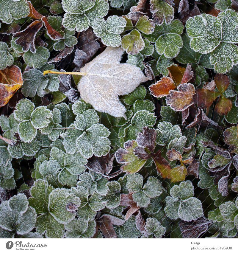 Raureif auf verschiedenen Blättern im Herbst Umwelt Natur Pflanze Eis Frost Blatt Grünpflanze Park frieren liegen dehydrieren Wachstum ästhetisch authentisch
