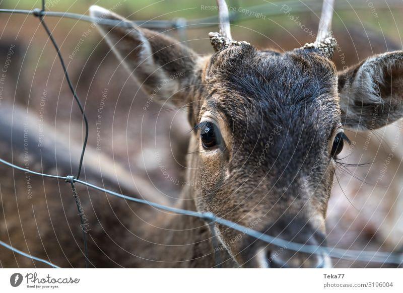 Hallo Rehbock. Natur Tier Wildtier Zoo Streichelzoo 1 ästhetisch Dammwild Farbfoto Außenaufnahme Dämmerung