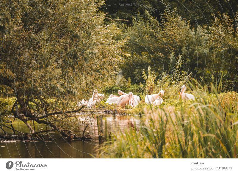 Pelikaninsel Natur Landschaft Pflanze Tier Baum Gras Sträucher Seeufer Wildtier Vogel Schwarm Zusammensein natürlich braun grün rosa Reinigen Farbfoto