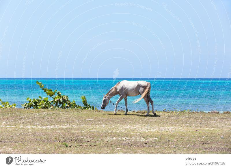 kubanische Pferdearbeitspause Sommer Strand Natur Wolkenloser Himmel Horizont Schönes Wetter Pflanze Küste Meer Karibik Nutztier 1 Tier authentisch dünn einfach