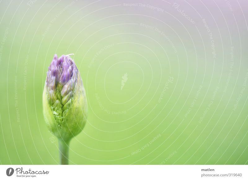 Lauchcreme Pflanze Frühling Blüte blau grün violett aufplatzen erblühen Zierlauch Farbfoto Außenaufnahme Menschenleer