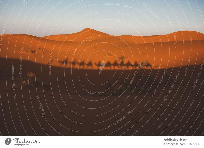 Schatten der Kamelkarawane auf der Sanddüne Karavane Wüste Silhouette Reihe Tour Marokko Düne Natur Landschaft Abenteuer Sonnenuntergang Tradition dunkel laufen