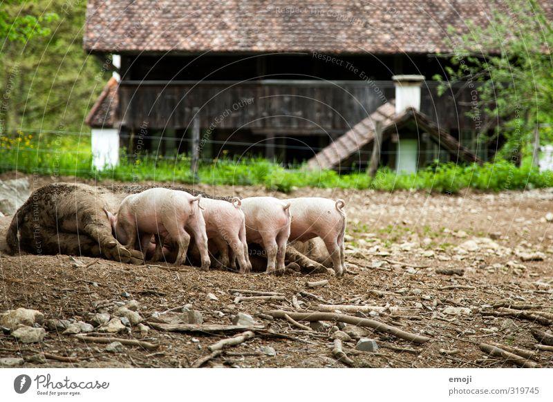 Ferkel! Tier Tierjunges natürlich dreckig Tiergruppe Tierzucht Nutztier Viehhaltung Tierfamilie