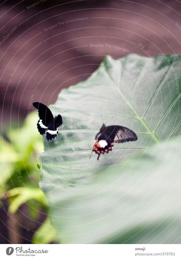 verliebt Natur grün Pflanze Tier Blatt Umwelt natürlich Tierpaar Wildtier Schmetterling Grünpflanze