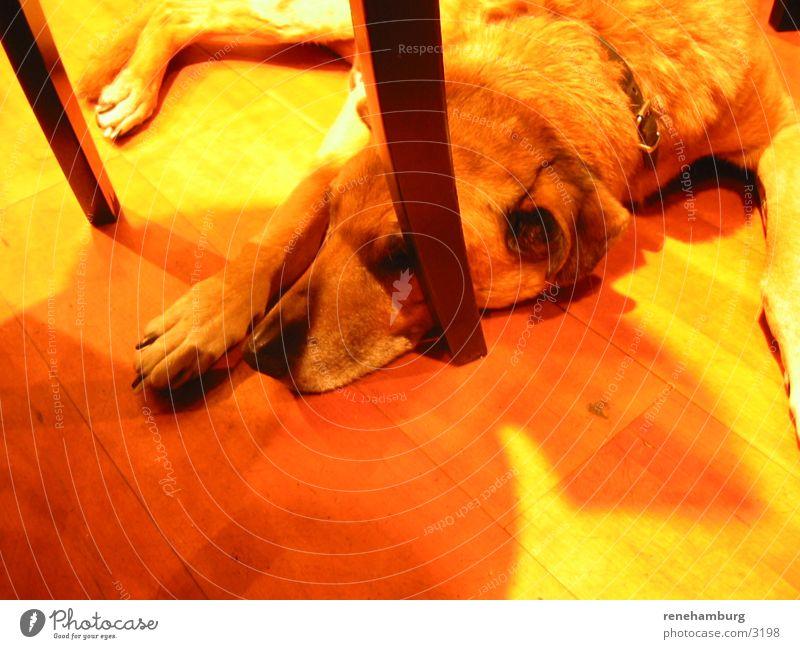 dogy Hund