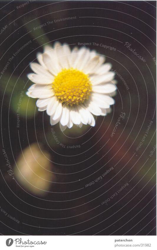 Einsames Gänseblümchen Blume Einsamkeit Wiese Pflanze Sommer Frühling Gras Natur Rasen
