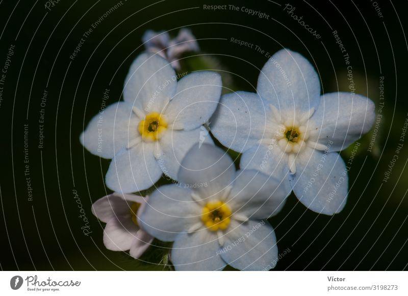 Blüten des breitblättrigen Vergissmeinnichts (Myosotis latifolia). Integrales Naturreservat von Mencáfete. Frontera. El Hierro. Kanarische Inseln. Spanien.