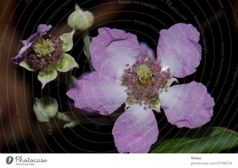 Blume und Knospen der Ulmenblättrigen Brombeere (Rubus ulmifolius). Integrales Naturreservat von Mencáfete. Frontera. El Hierro. Kanarische Inseln. Spanien.