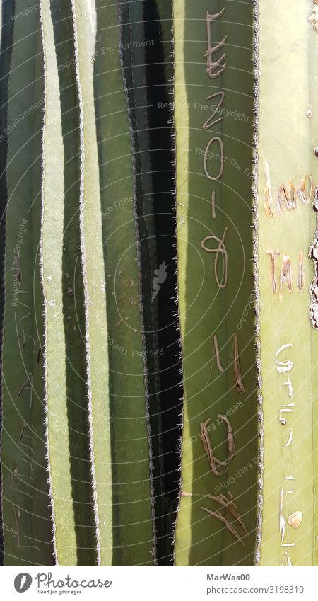 Mein großer grüner Kaktus Sommer Natur Pflanze Dürre Park Schriftzeichen exotisch Spitze schnitzen schneiden spitzig stachelig Narbe verewigen Farbfoto