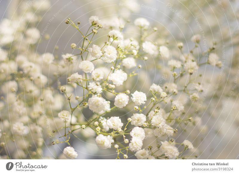 Schleierkraut Natur Pflanze Blume Blüte baby breath Gysophila ästhetisch außergewöhnlich Duft elegant Fröhlichkeit frisch hell schön nah natürlich weich weiß