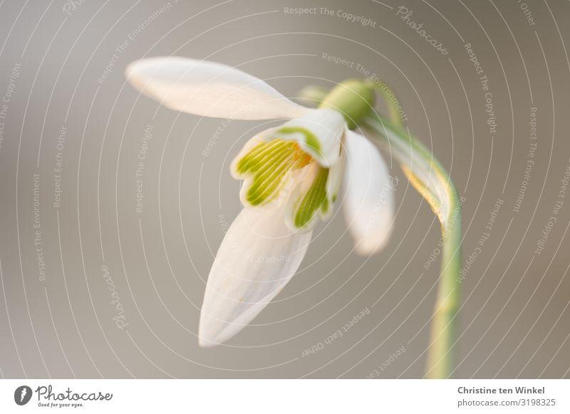 Schneeglöckchenblüte vor neutralem hellem Hintergrund Natur Pflanze Blume Blüte Winterblüher ästhetisch außergewöhnlich elegant frisch schön klein nah natürlich