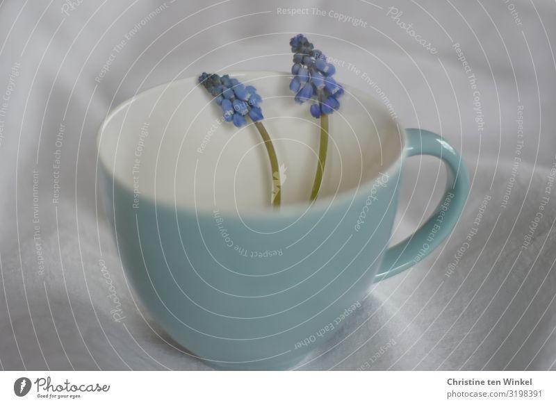 türkisfarbene Tasse mit  zwei blauen Perlhyazinthen auf hellem Stoffuntergrund Becher Pflanze Blume Blüte Traubenhyazinthe ästhetisch außergewöhnlich Duft
