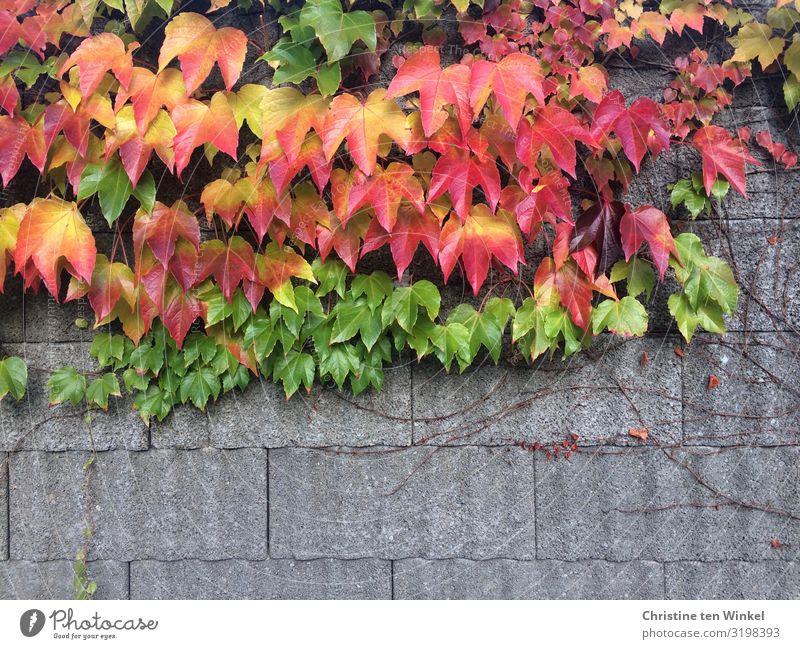 Wilder Wein an einer Mauer Natur Herbst Pflanze Blatt Grünpflanze Wand nah natürlich schön wild mehrfarbig gelb grau grün orange rot Fröhlichkeit Lebensfreude