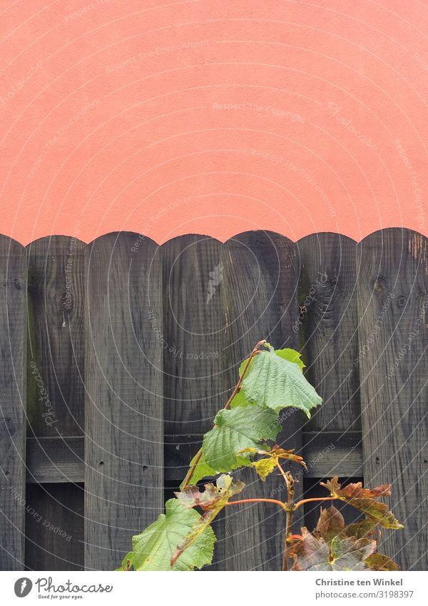 Dunkler Holzzaun vor orangefarbener verputzter Wand Pflanze Blatt Haselnussblatt Mauer Zaun Gartenzaun nah schön grau grün schwarz Farbe Natur Farbfoto