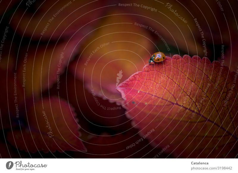 Samtig Natur Pflanze Tier Blatt Rothaarige Buntnessel Garten Park Käfer 1 krabbeln schön klein orange rot schwarz Farbe Marienkäfer Farbfoto Gedeckte Farben