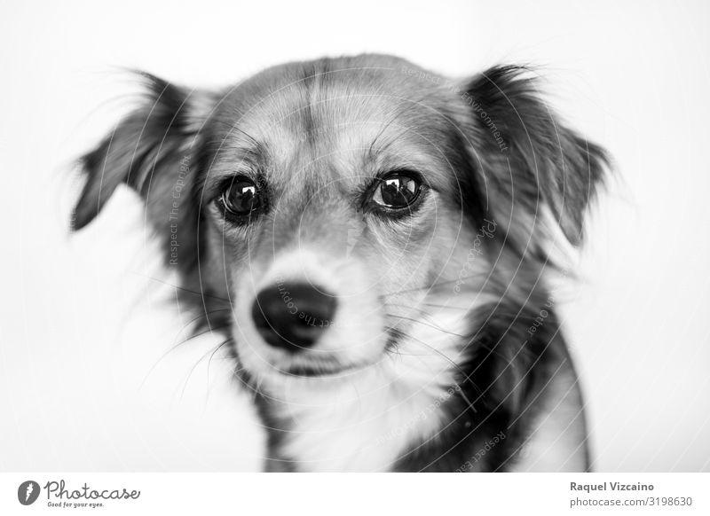 Schwarz-Weiß-Porträt eines Hundes. Tier Haustier 1 sitzen niedlich schwarz weiß Border Collie Welpe vereinzelt Schäferhund Säugetier Australischer Schäferhund