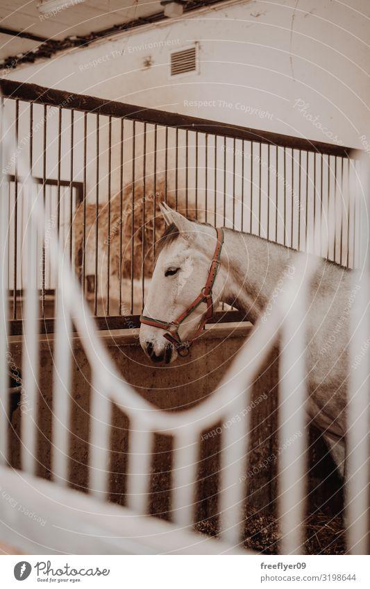 Das weiße Pferd wartet im Stall. Sport Tier Gebäude Nutztier 1 Holz Pferdestall Reiterin Kopf Reihe Gate Scheune Fenster Verkaufswagen Ranch Boarding Kabelbaum