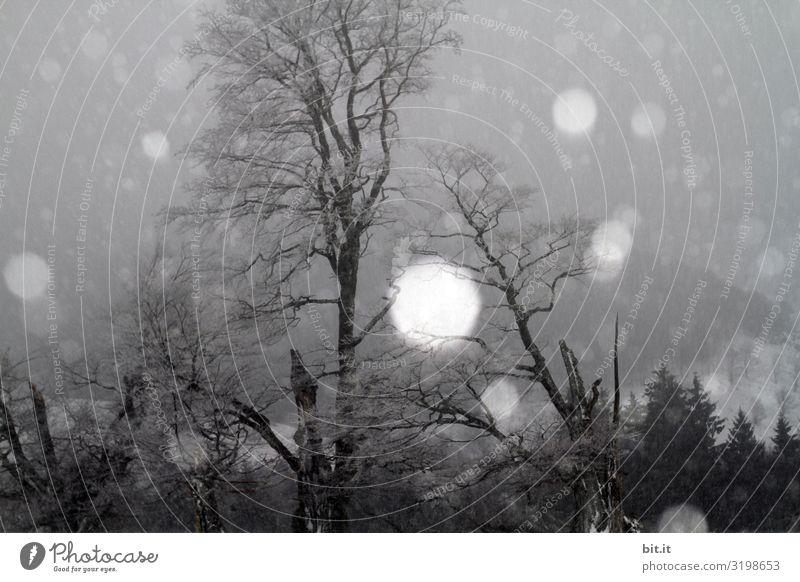Schneegestöber im Schwarzwald Umwelt Natur Landschaft Winter Klima Klimawandel Unwetter Nebel Eis Frost Schneefall Pflanze Baum Wald kalt Schneeflocke