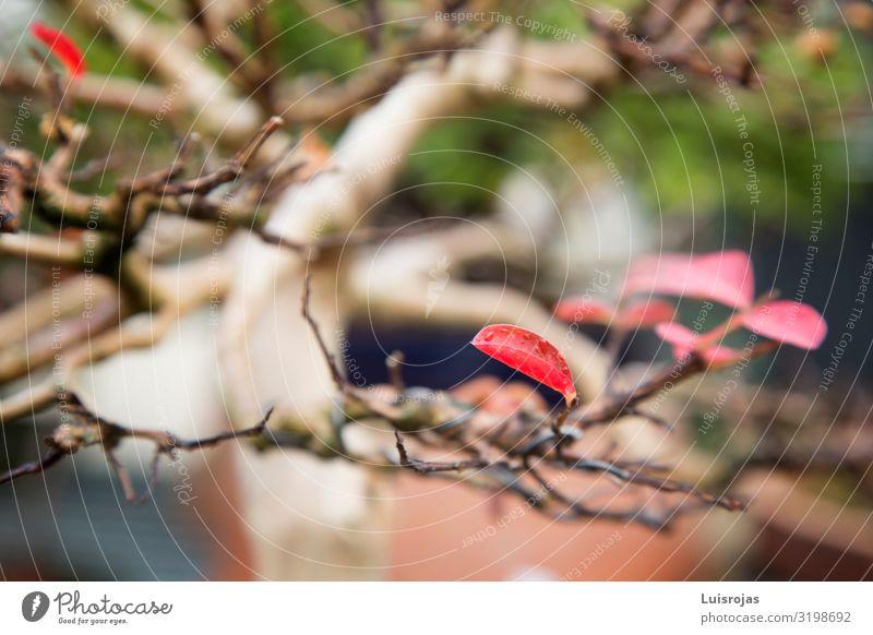 rote Baumblätter im Herbst Umwelt Natur Pflanze grün Vertrauen Liebe Farbfoto Nahaufnahme Detailaufnahme Makroaufnahme Menschenleer Schwache Tiefenschärfe