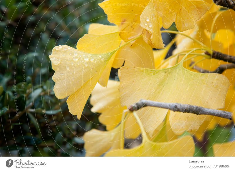 Gelbe Ginkoblätter Umwelt Natur Pflanze Herbst Blatt gelb grün Fröhlichkeit Frieden Hoffnung Inspiration Ginkgo Farbfoto Außenaufnahme Menschenleer