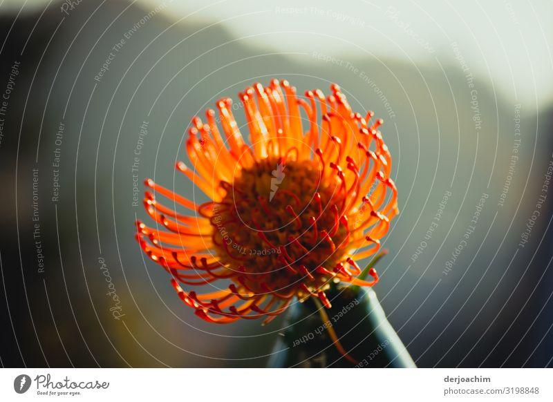 Nadelkissen exotisch harmonisch Natur Herbst Schönes Wetter Pflanze Garten Bayern Deutschland Kleinstadt Vase Blume beobachten entdecken genießen Blick