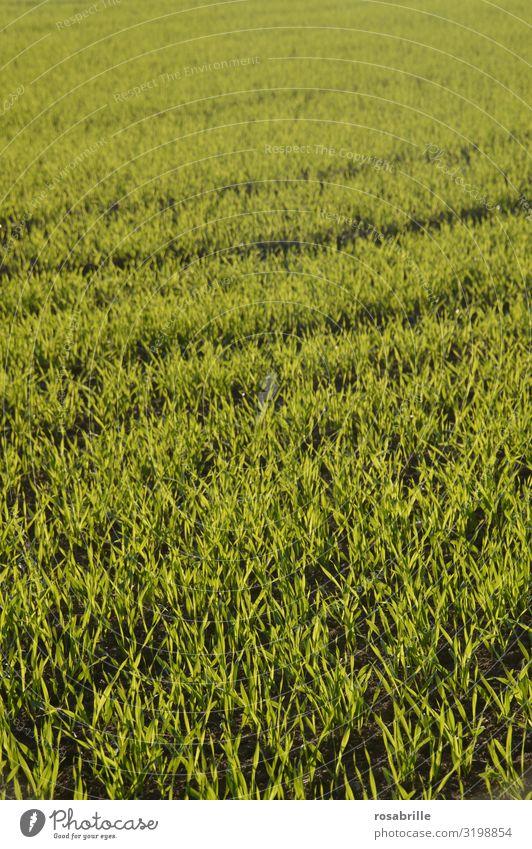 konform | gleichmäßig wachsende Pflanzen Landwirtschaft Ackerbau Feld Nahrung Wachstum Anbau landwirtschaftlich grün Natur kultiviert Kultur Fläche Ackerboden